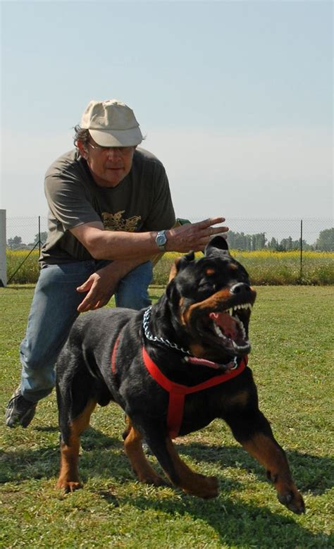 rottweiler guard best 25 german rottweiler ideas on rottweiler puppies for sale german