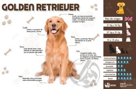 golden retriever caracteristicas todo lo que siempre quisiste saber golden retriever conociendo a mi perro