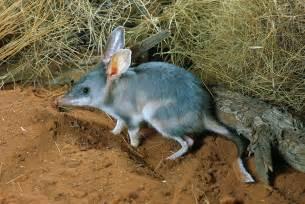 Duvet Australia Bilby Macrotis Lagotis Simpson Desert Photograph By Glen