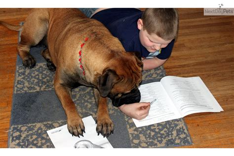therapy dogs for sale awesome therapy bullmastiff puppy for sale near minneapolis st paul