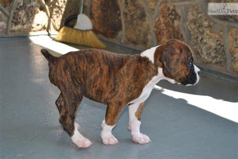 akc find a puppy boxer puppies for sale akc puppyfinder autos post