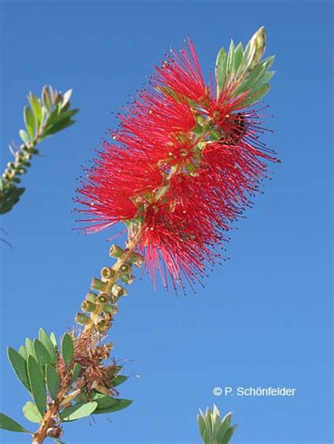 Callistemon Variegata flora canaria prof dr sch 246 nfelder