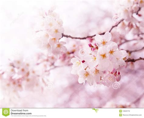 Blossom Free cherry blossoms in bloom stock image image of april japan 13523779