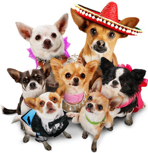 beverly puppies pin beverly chihuahua 2 puppies 1680x1050 on