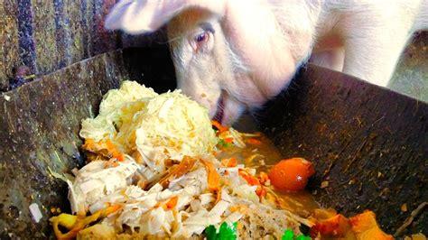 Slop On cerdo comiendo pig slop malac mosl 233 k