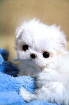 yorkies for sale ta fl 1000 images about teacup maltese i so want one on teacup maltese