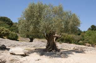 Olive Tree by Gallery For Gt Greek Olive Tree Leaves