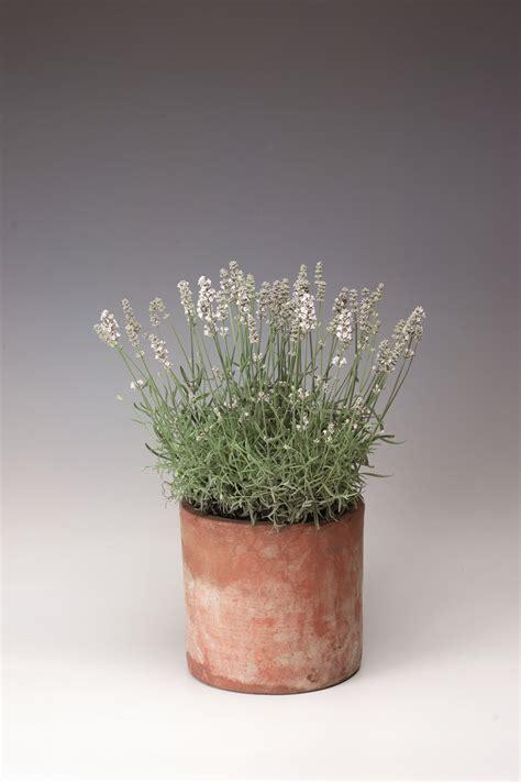 lavender aromatico silver common name white english