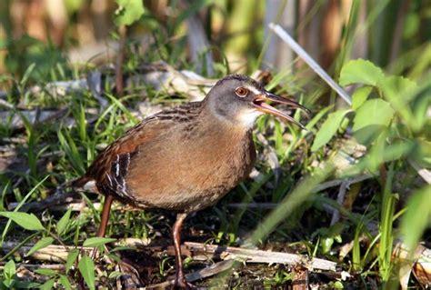 D 233 Couverte Du Promeneur D Oiseau Oiseaux Exotiques Oka La Migration Printani 232 Re Des