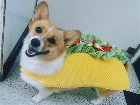 taco puppy celebrate national taco day with these dogs dressed as tacos american kennel club