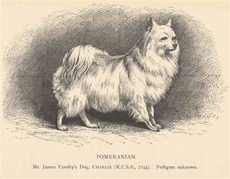 origin of pomeranian history of the pomeranian k9 research lab