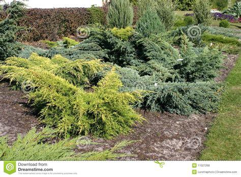 cespugli giardino cespugli ornamentali fotografie stock libere da diritti