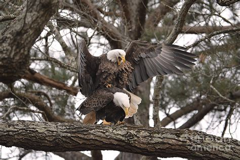 bald eagles mating bald eagles mating in shiloh tennessee photograph by jai