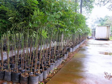 Bibit Eucalyptus Deglupta eucalyptus deglupta sedia bibit eucalyptus deglupta