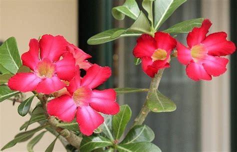 rosa d inverno fiore come coltivare la rosa deserto in the wind
