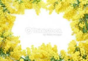 immagini fiori di mimosa riquadro di fiori di mimosa foto stock thinkstock