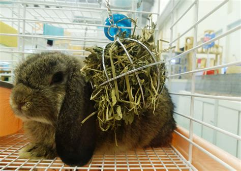 Sisir Untuk Kelinci pakan hay untuk kelinci hias bebeja