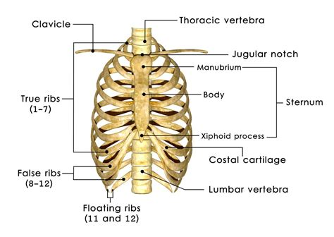 how many ribs does a ribs and sternum anatomy images human anatomy learning