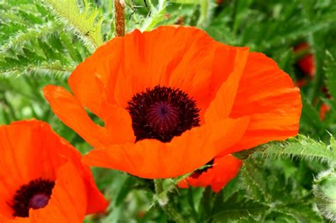 colorful flowers picture orange flowers in bloom light free picture orange colored petals poppy flower