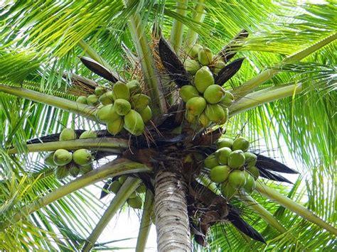 manfaat buah kelapa