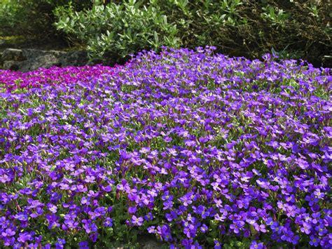 pflanzen für trockene sonnige standorte blaukissen pflanzen und pflegen tipps gartenpflanzen