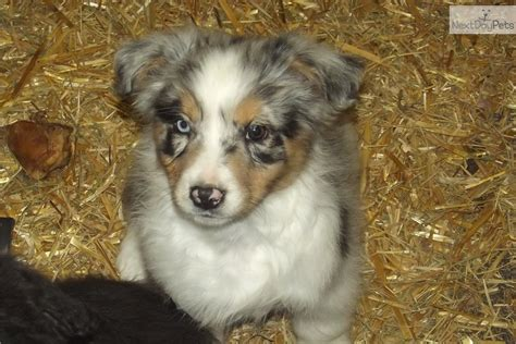 australian shepherd puppies wisconsin australian shepherd puppy for sale near wisconsin 499c089f 9821