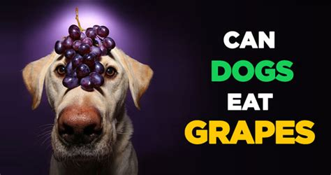 can dogs grapes can dogs eat grapes fallinpets