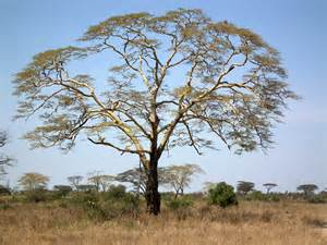 tree pictures file acacia xanthophloea fever tree in tanzania 2873 nevit jpg
