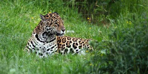 all about jaguars facts jaguar facts for adults information pictures