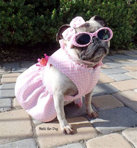 matti the pug 17 best ideas about pug costume on pug puppies pugs in costume and