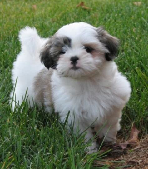 info on shih tzu dogs shih tzu info and pictures of dogs breeds information