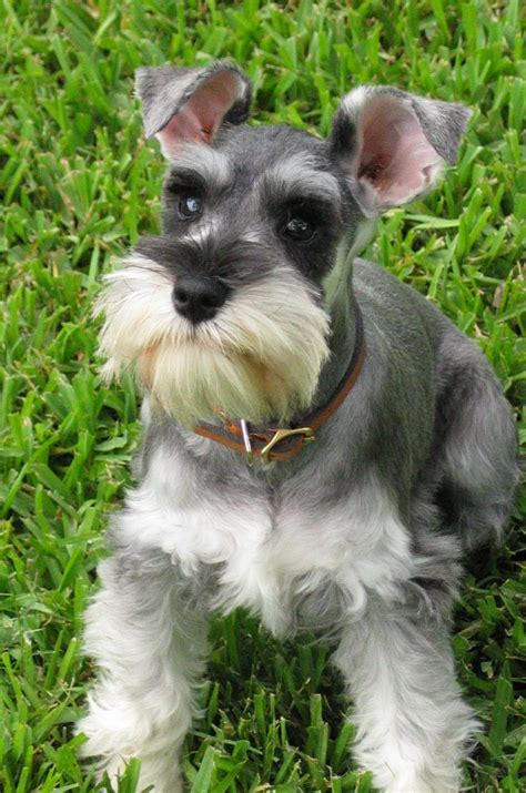pictures of schnauzer puppies schnauzer standard photo and wallpaper beautiful schnauzer standard