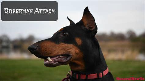 vicious attacks vicious doberman pinscher www pixshark images galleries with a bite