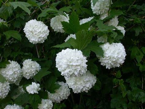fiore a palla palla di neve piante da giardino palla di neve pianta