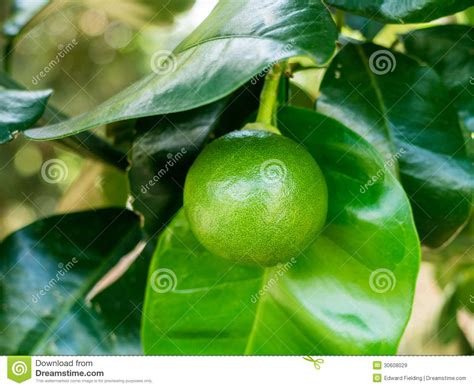 lime fruit trees lime fruit on tree royalty free stock images image 30608029