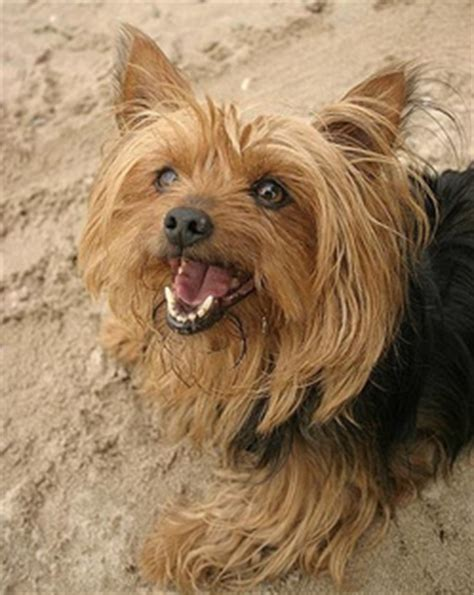 pancreatitis in yorkies assisi animal health why do the terrier