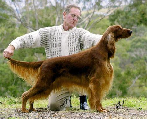 irish setter dogs for sale australia irish setter breeders puppies australia party