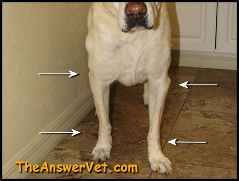 arthritis in dogs arthritis in dogs images x rays and medications