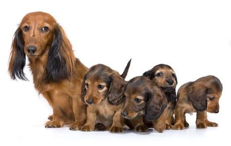 gestation time for dogs how are dogs before they give birth