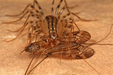 do house centipedes bite house centipede bite