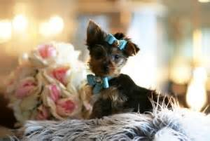 yorkie puppies for sale in arbor michigan pets arbor mi free classified ads