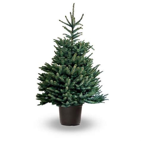 albero da interno albero di natale abies piante da interno albero di
