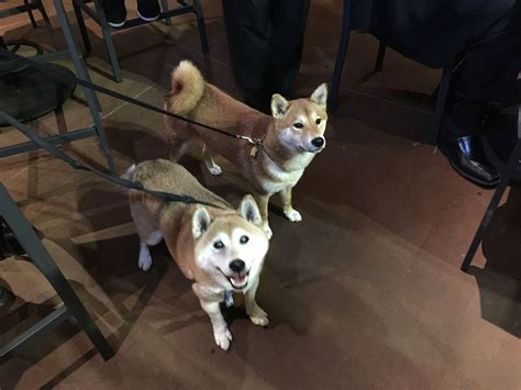 lazy dublin yes you can bring dogs this shiba inu puppy named kabuki and our toby were the