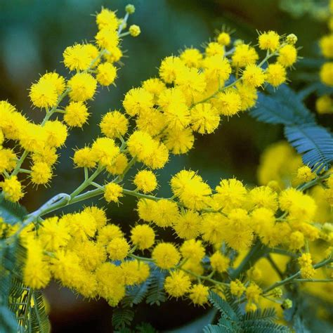 sementes acacia polybotrya cassia lindas flores 193 rvore