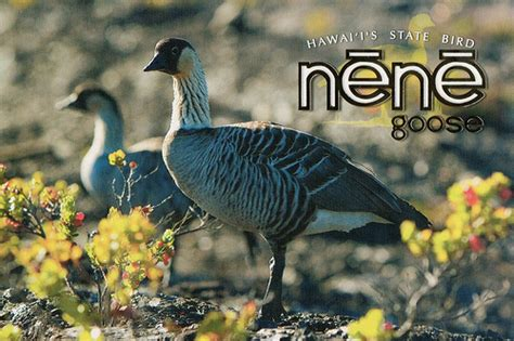 hawaii s state bird nene goose flickr photo sharing