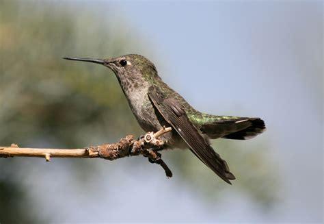 anna s hummingbird calypte anna our wild world