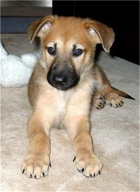 chinook puppy chinook facts temperament care puppies pictures