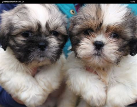 shih tzu pronounce breeders pedigree breed info shih tzu