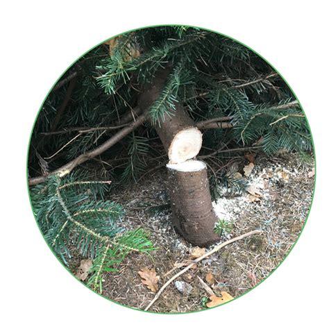 weihnachtsbaum selber schlagen berlin 28 images