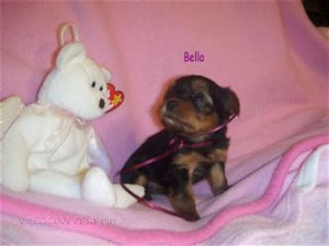 free puppies greensboro nc teacup yorkie poo puppies in greensboro nc breeds picture